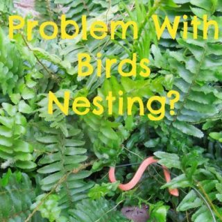 Keep birds out of ferns with one trick … and a pin-it party