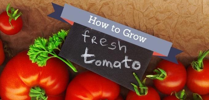 feature image tomato