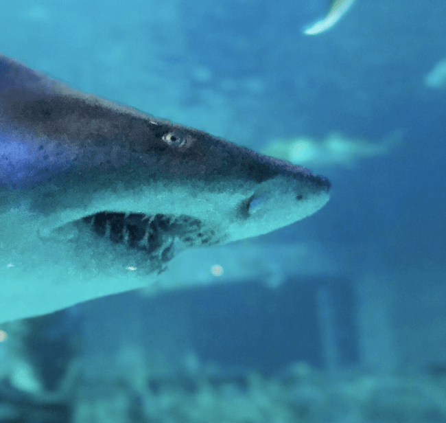 A close up of a shark swimming in an aquarium.