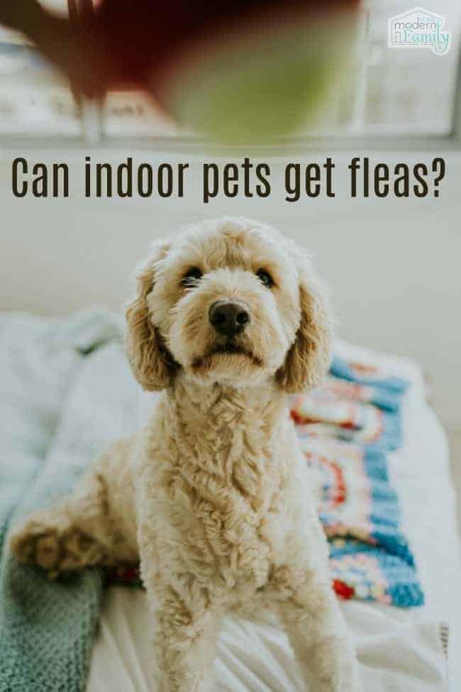 Can indoor pets get fleas?