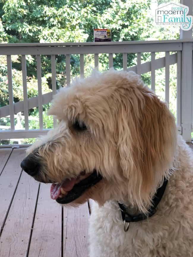 A white dog sitting on a porch.